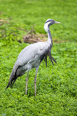 Demoiselle crane — Foto de Stock