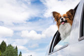 Papillon dog traveling in car — Stock Photo