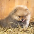 Pomeranian puppy on a straw — Stock Photo