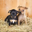Two Russian Toy Terrier puppies — Stock Photo