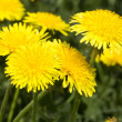 Yellow dandelions in meadow — Stock Photo #30499101