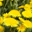 Yellow dandelions in meadow — Stock Photo #30499103