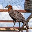 Southem Ground Hornbill — Stock Photo