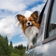 Dog traveling in the car — Stock Photo