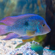 South American cichlid — Foto de Stock