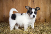 Papillon puppy standing on a straw — Foto Stock