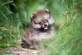 Small Pomeranian puppy in grass — Stock Photo