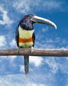 черношейная арасари — Стоковое фото