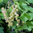 White currant berries — Stock Photo