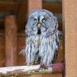 Lapland (Great Gray) Owl — Stock Photo
