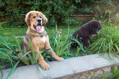 Two Tibetan mastiff puppy outdoors — Zdjęcie stockowe