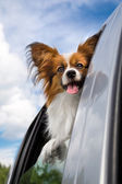 Papillon dog traveling in the car — Stock Photo