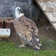 Griffon Vulture — Stock Photo