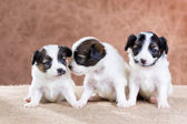 Three small Papillon puppy — Stock Photo