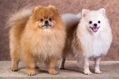 Portrait two Pomeranian dog — Stock Photo