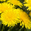 Yellow dandelions in meadow — Stock Photo #34484303