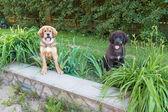 Dwa psy szczenię na zewnątrz — Zdjęcie stockowe