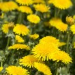 Yellow dandelions in meadow — Stock Photo