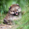 Small Pomeranian puppy in grass — Stock Photo