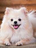 Portrait Pomeranian dog — Stock Photo