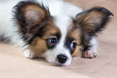 Portrait of a cute puppy Papillon — Stock Photo