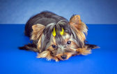Young Yorkshire Terrier lying — Stock Photo