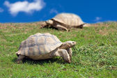 Two large tortoises  — Stock Photo