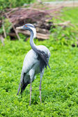Demoiselle Crane — Stock Photo