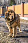 Dog breed Tibetan Mastiff — Foto Stock