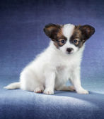 Papillon pup — Stockfoto