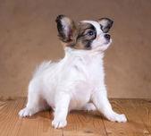 巴比龙小狗 — 图库照片
