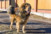 Dog breed Tibetan Mastiff — Stock fotografie