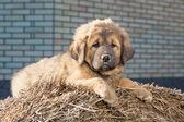 Szczeniak rasy mastif tybetański — Zdjęcie stockowe