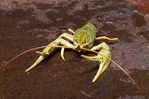 Live crayfish — Stock Photo