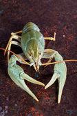 One live crayfish  — Stock Photo