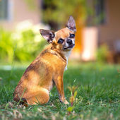 Doggie Chihuahua — Stock Photo