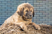 Puppy breed Tibetan Mastiff — Stok fotoğraf