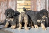 Puppies breed Tibetan Mastiff — Stok fotoğraf