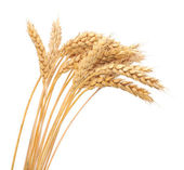 Isolated bunch of wheat — Foto Stock