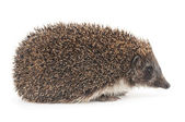 Hedgehog — Stock fotografie