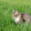 Kitten in grass — Foto de Stock