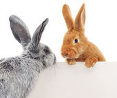 Rabbits with blank — Stock Photo
