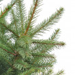 Close up of fir tree branch — 图库照片