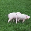 Small pigs — Photo
