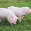 Small pigs — Stock Photo #36728959