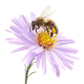 Honeybee and blue flower — Stock Photo