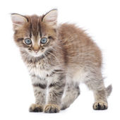 Kitten on a white background — Stock Photo