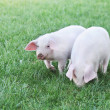 Small pigs — Stock Photo #40809921