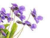 Violets — Foto Stock