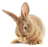 Coniglio — Foto Stock
